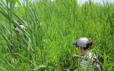 Contrôle du Phragmite – Projet de restauration du marais de Lavaltrie